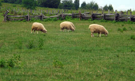 Sheep Grazing in a Field royalty free stock photo