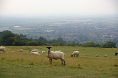 Sheep grazing in field Royalty Free Stock Image