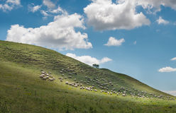 Sheep grazing in the fields Stock Photos