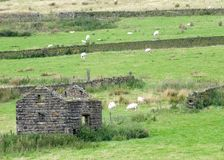 Sheep grazing in fields surrounded by dry stone walls with a ruined cottage in the foreground and clumps of high moorland grass royalty free stock photo