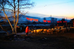 Sheep grazing. Flock of sheep grazing in the cold winter,Chifeng,china Stock Photography