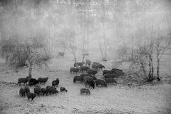 Sheep grazing. Flock of sheep grazing in the cold winter,Chifeng,china Royalty Free Stock Photo