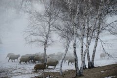 Sheep grazing. Flock of sheep grazing in the cold winter,Chifeng,china Stock Photos