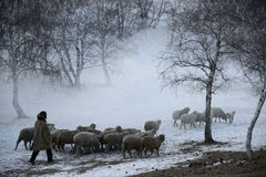 Sheep grazing. Flock of sheep grazing in the cold winter,Chifeng,china Royalty Free Stock Image