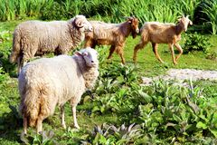 Sheep grazing. Flock of sheep grazing freely in the meadow royalty free stock image