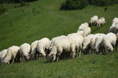 Sheep grazing. Sheep flock grazing in grassy field royalty free stock image