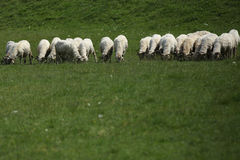 Sheep grazing Royalty Free Stock Photography