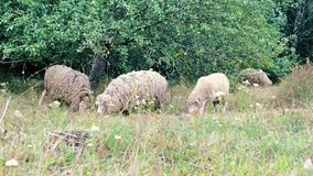 Sheep grazing. flock of sheep grazes on a green field. Close-Up Herd of Sheep Eating Grass near the trees stock video