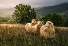 Sheep grazing in a fog near old oak. Beautiful scenery on rainy autumn day in mountainous rural area. three curious wet animals stand in a weathered grass Royalty Free Stock Photography