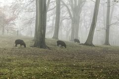 Sheep grazing in a foggy forest stock images
