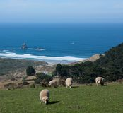 Sheep grazing in the foreground, in the background Sandfly Bay in Otago Peninsula near Dunedin in New Zealand stock photos