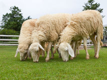 Sheep grazing fresh green grass in farm Stock Photography