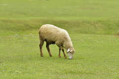 Sheep Grazing Fresh Green Grass Royalty Free Stock Images