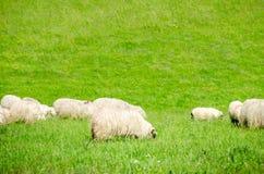 Sheep grazing fresh green grass Royalty Free Stock Image