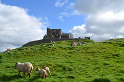 Sheep Grazing in Front of the Rock of Cashel Royalty Free Stock Photo