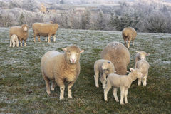 Sheep grazing frosty winter countryside Royalty Free Stock Photography