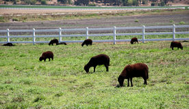 Sheep grazing on grass in a field. Black and brown sheep grazing on grass in a field on a ranch Stock Photos