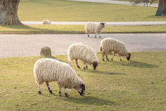 Sheep grazing. On Grass Field Royalty Free Stock Image