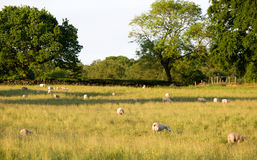 Sheep grazing in a grass field Stock Images