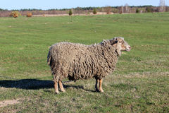Sheep grazing on the grass Royalty Free Stock Photography