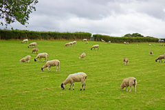 Sheep grazing grass Royalty Free Stock Photo
