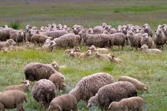 Sheep grazing on grass land Stock Image