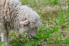 Sheep grazing the grass on the meadow Royalty Free Stock Images