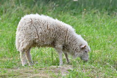 Sheep grazing the grass on the meadow Stock Photography