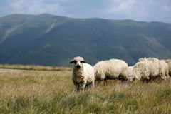 Sheep grazing the grass on mountain peaks Stock Photo