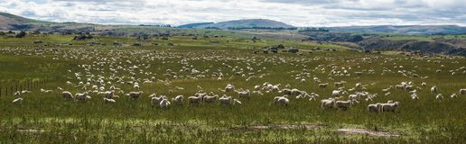 Sheep Grazing in the Grass royalty free stock image
