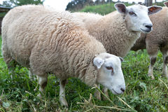 Sheep grazing grassland Royalty Free Stock Images