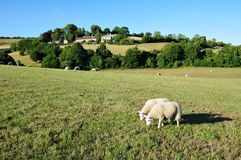 Sheep Grazing in a Green Field. Landscape View of Sheep Grazing in a Green Field in the Avon Valley near Bath on the Somerset Wiltshire Border in England Royalty Free Stock Photo