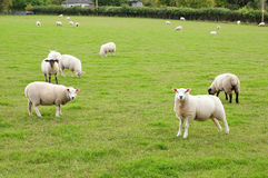 Sheep Grazing in a Green Field. Landscape View of Sheep Grazing in a Green Field Royalty Free Stock Photography