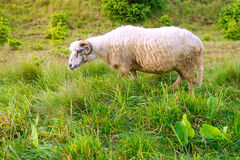 Sheep grazing in a green field. One sheep in the field. One white sheep eats green grass at farm. One sheep grazing in the meadow Royalty Free Stock Photography