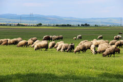 Sheep Grazing in Green Field. Sheep grazing in a green field in Prahova, Romania on a sunny spring day Royalty Free Stock Photography