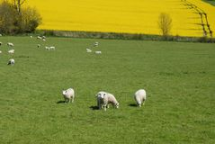 Sheep grazing in a green field in the Springtime, England royalty free stock photo