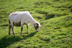 Sheep grazing on green field in summer. Time Royalty Free Stock Images