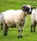 Sheep grazing on  green field in summer. Time Stock Image