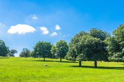 Sheep grazing on a green field surrounded by beech trees under a blue summer sky stock photography