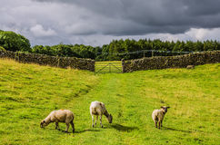 Sheep grazing in a green field. Three sheep grazing in a green field with a dry stone wall and gate in the background, rural scene in Cumbria, England Royalty Free Stock Image
