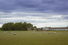 Sheep grazing in a green field, Toila, Estonia. Sheep grazing in a green field, summer in cloudy weather, Korve-Toila, Ida-Viru maakond, Estonia Stock Image