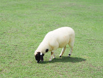 Sheep grazing in green field. White sheep with black face grazing in green field Stock Image