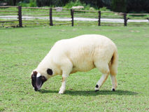 Sheep grazing in green field. White sheep with black face grazing in green field Stock Photography