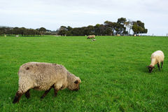 Sheep grazing on green grass field Royalty Free Stock Photo