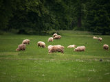 Sheep grazing on green grass stock photos