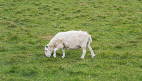 Sheep eating on the grass, Scotland Royalty Free Stock Photo