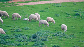 Sheep grazing in the green. Herd of sheep grazing in the green Stock Image
