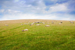 Sheep grazing on a green hillside Stock Images