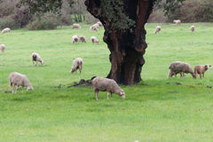 Sheep grazing on a green meadow. In de center of Spain Stock Photo