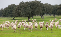 Sheep grazing on a green meadow. In de center of Spain Royalty Free Stock Photo